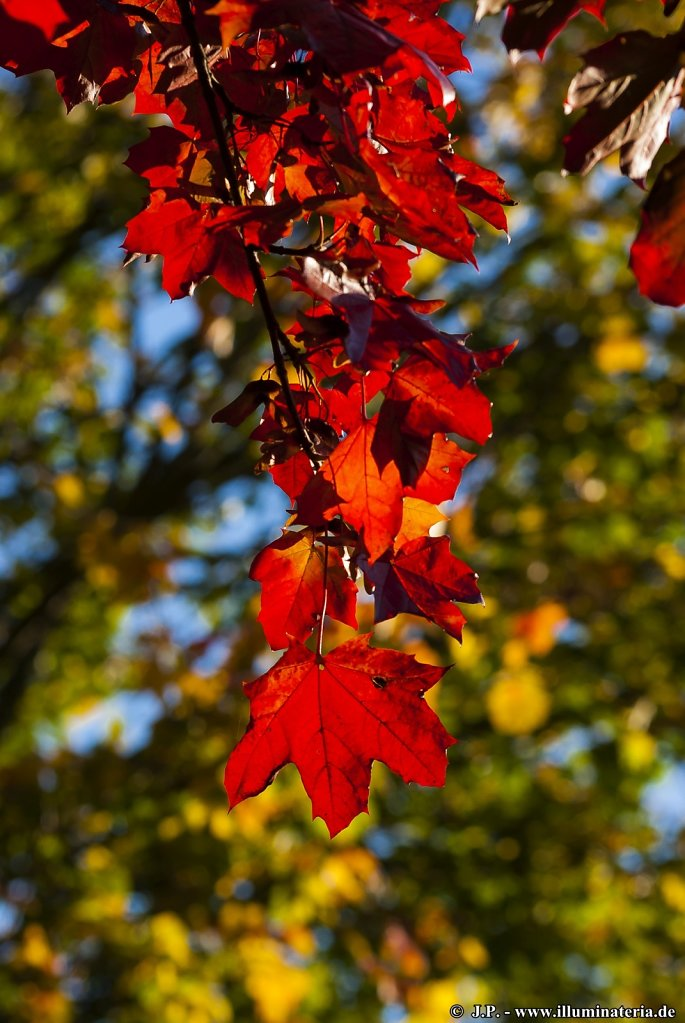 Autumnal red